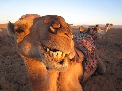 selfie con un camello